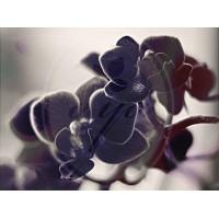 """Aromatinis aliejus """"Juodoji orchidėja"""", 30 g"""